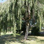 Baumgräber